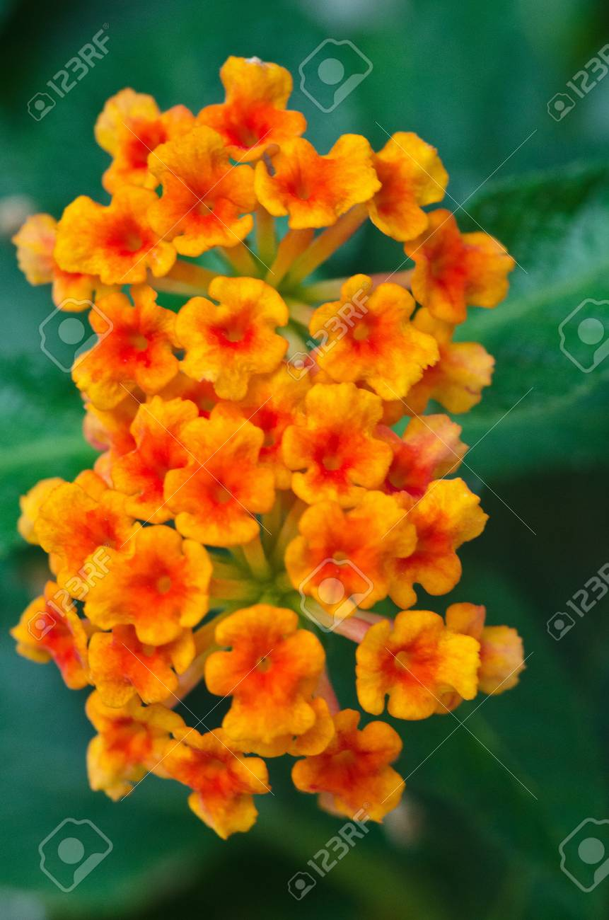 Pretty Redish Orange Flowers Texture Stock Photo Picture And