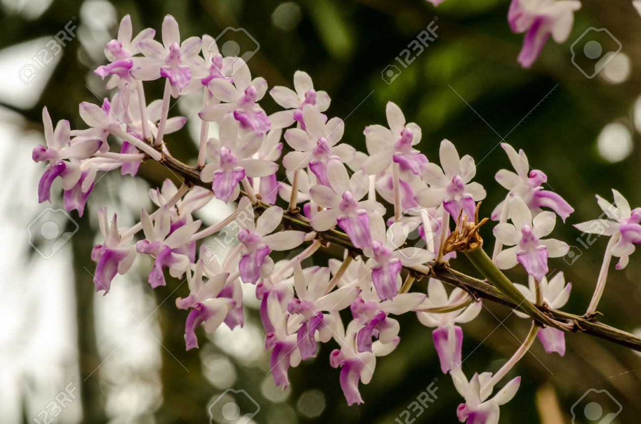 Pink And White Small Orchid Flower Cluster In Bloom In Spring Stock