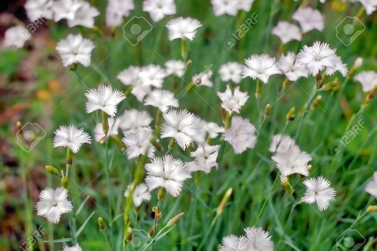 Meadow Small Flowers With Petals Of White Flowers In Spring Stock