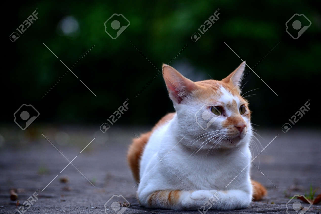 Cute domestic cats the color are orange and white - 154980455