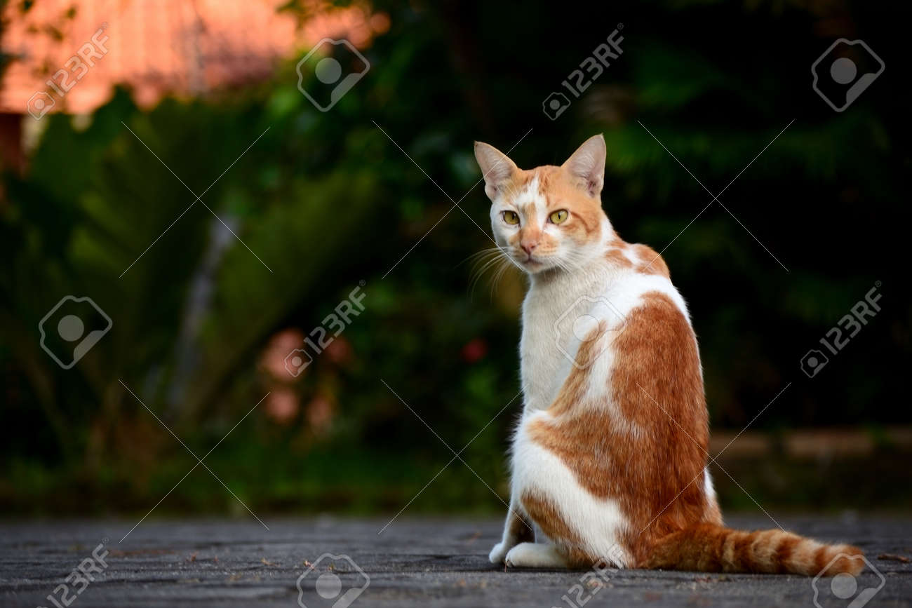 Cute domestic cats the color are orange and white - 154979679