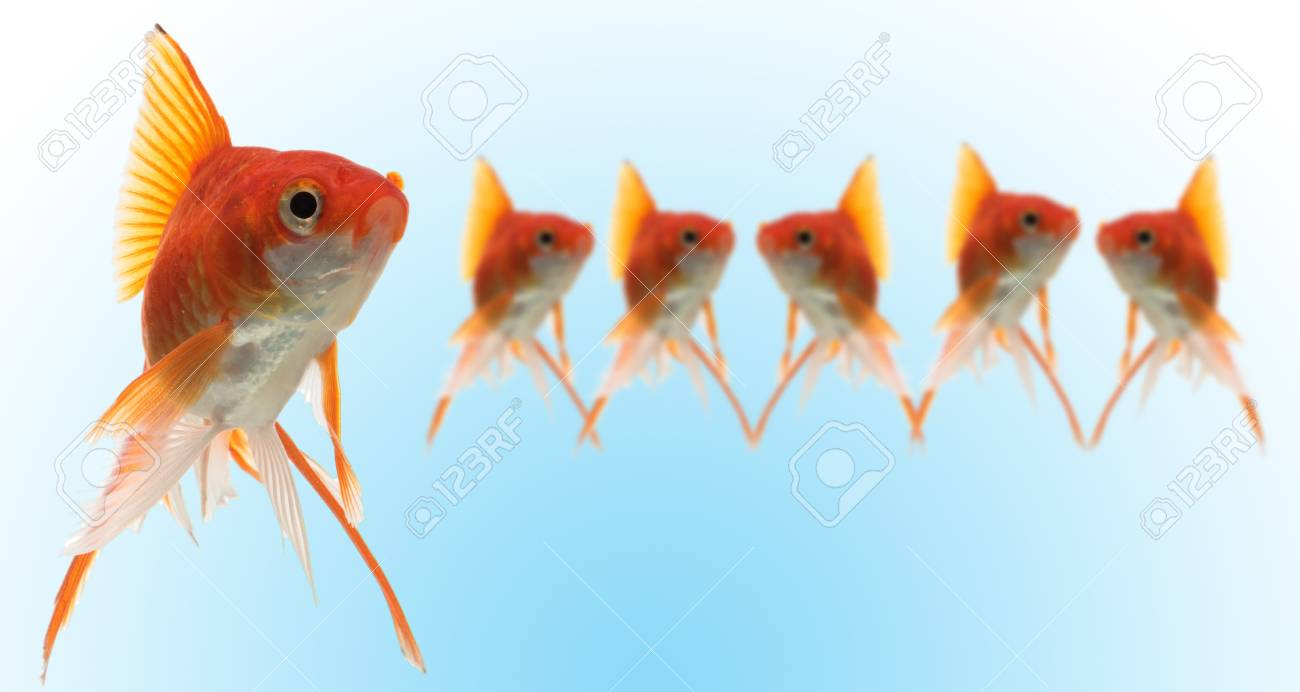 goldfishes with leader on blue Stock Photo - 4248358