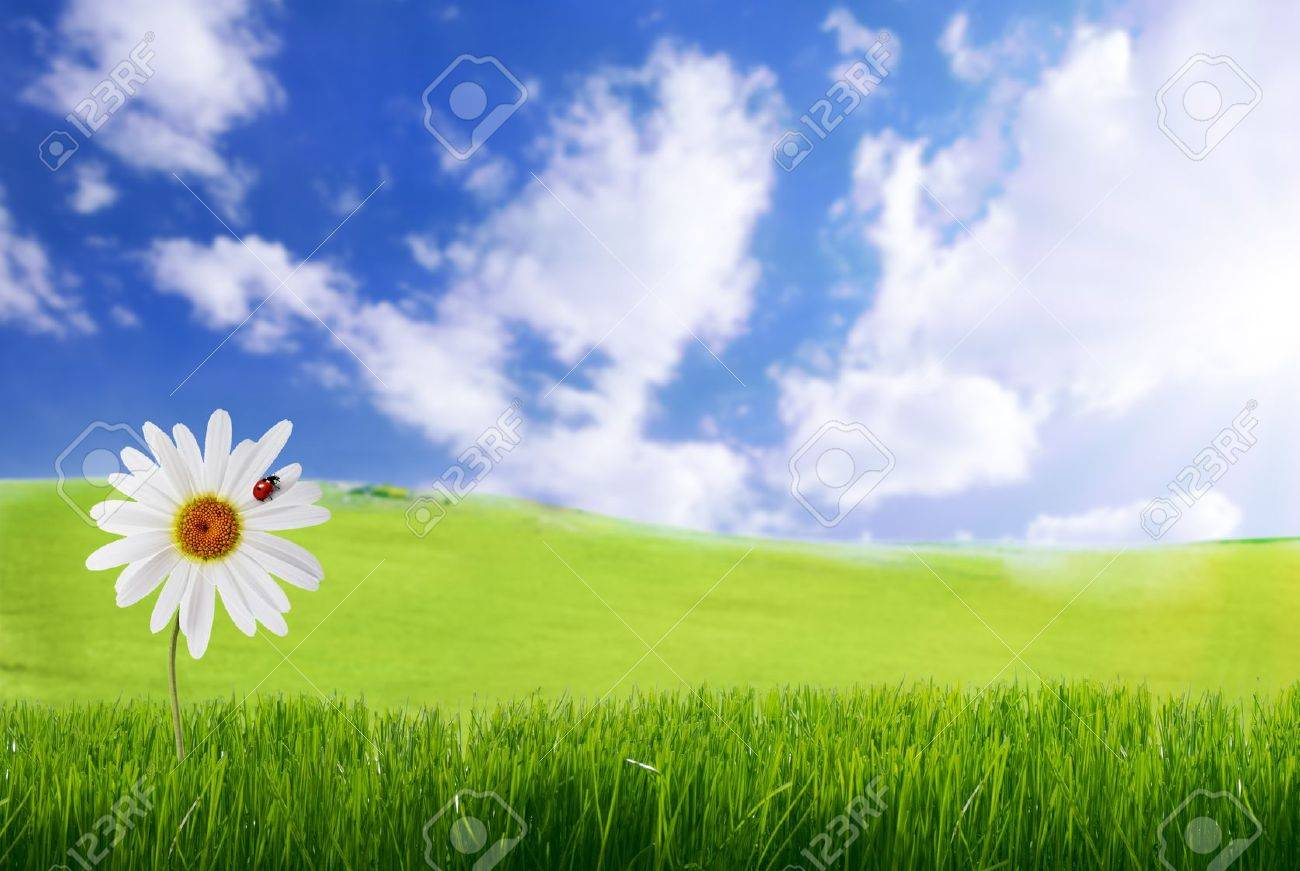 daisy with ladybug in green grass - 13054516