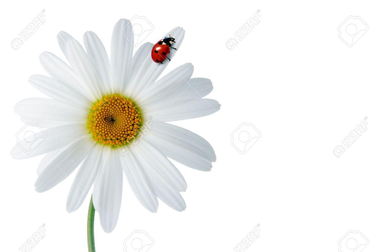 Ganseblumchen Mit Marienkafer Auf Weissem Hintergrund Lizenzfreie Fotos Bilder Und Stock Fotografie Image 13099516