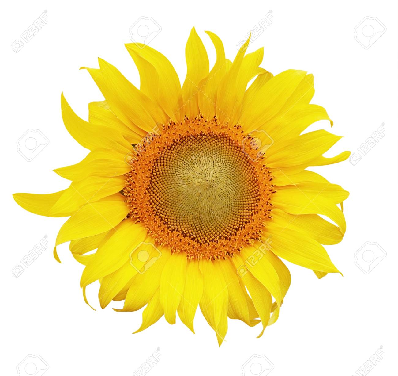 sunflower isolated on white background Stock Photo - 12350651