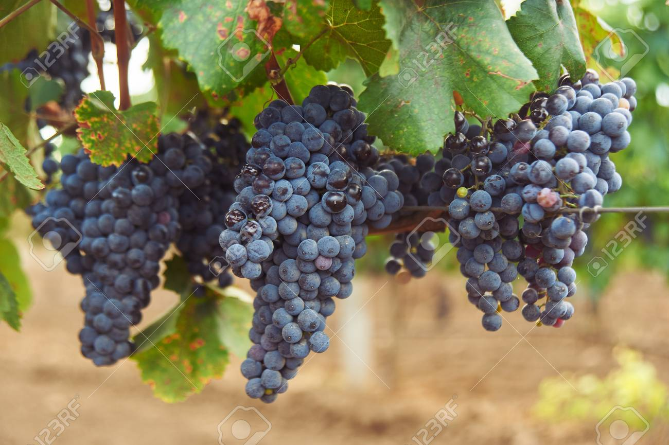 bunch of black grape at vine. ripe purple bunch. outdoor country scene. harvesting season concept. close up shot with copy space - 123623048