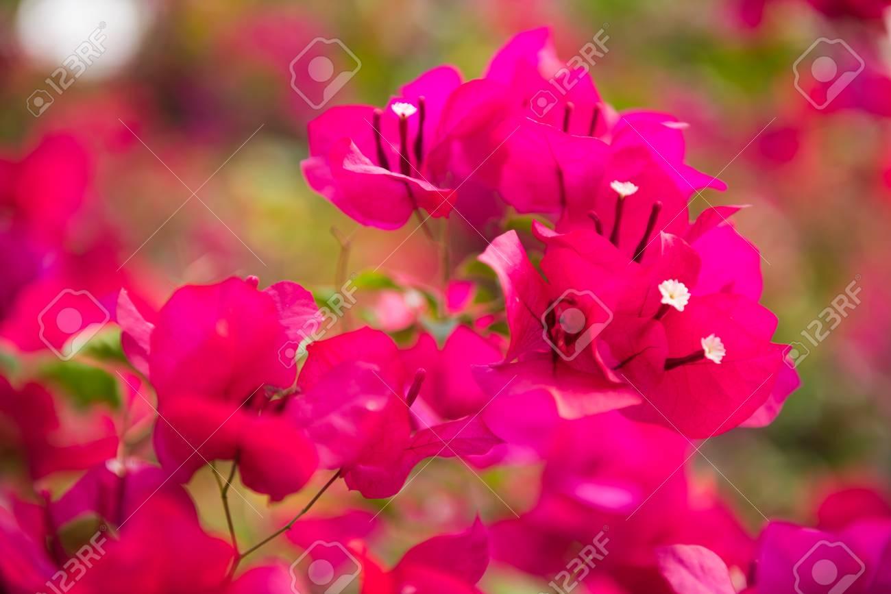 Pink bougainvillea paper flower in dept of field stock photo pink bougainvillea paper flower in dept of field stock photo 60377357 mightylinksfo