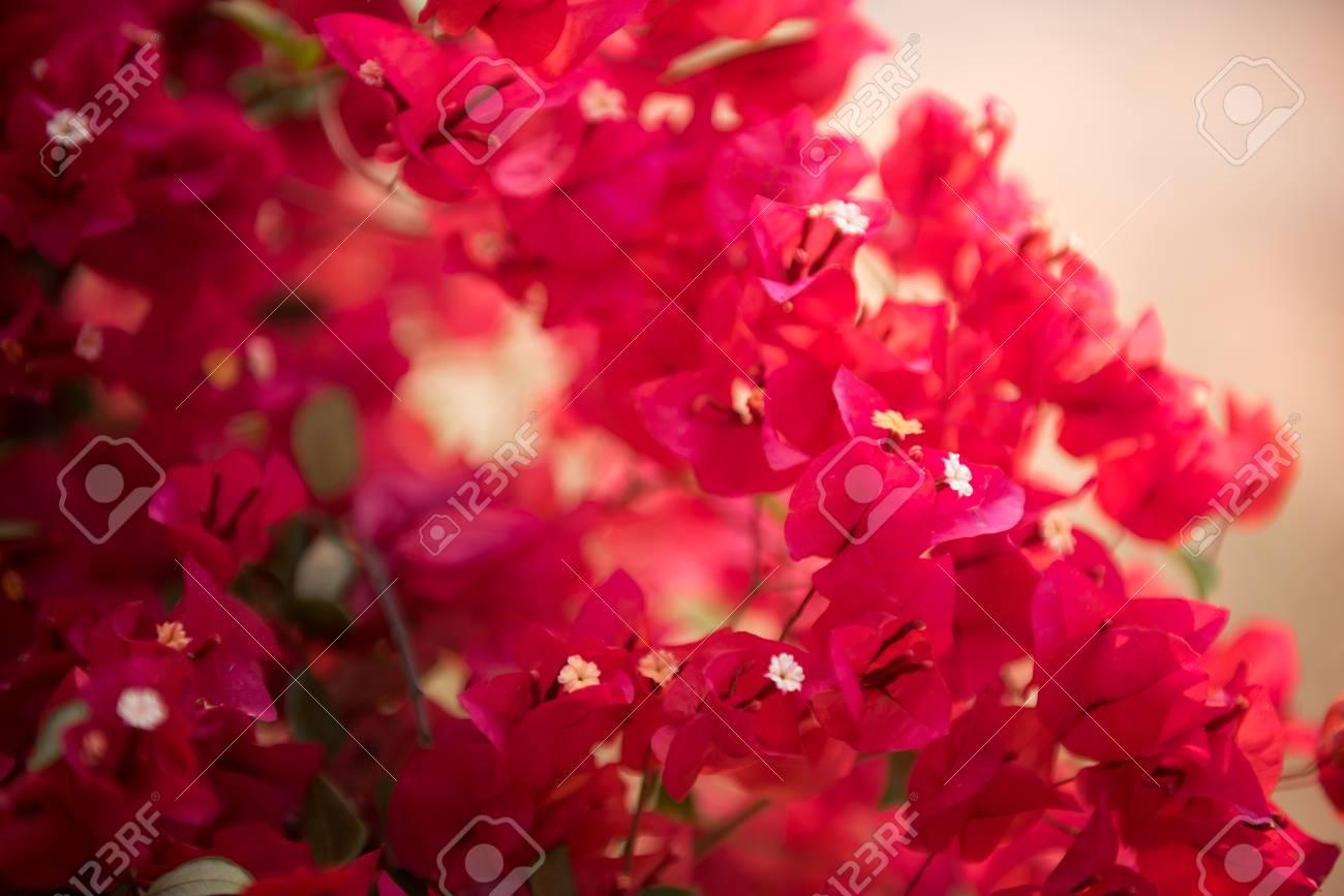 Pink Bougainvillea Paper Flower In Dept Of Field Stock Photo