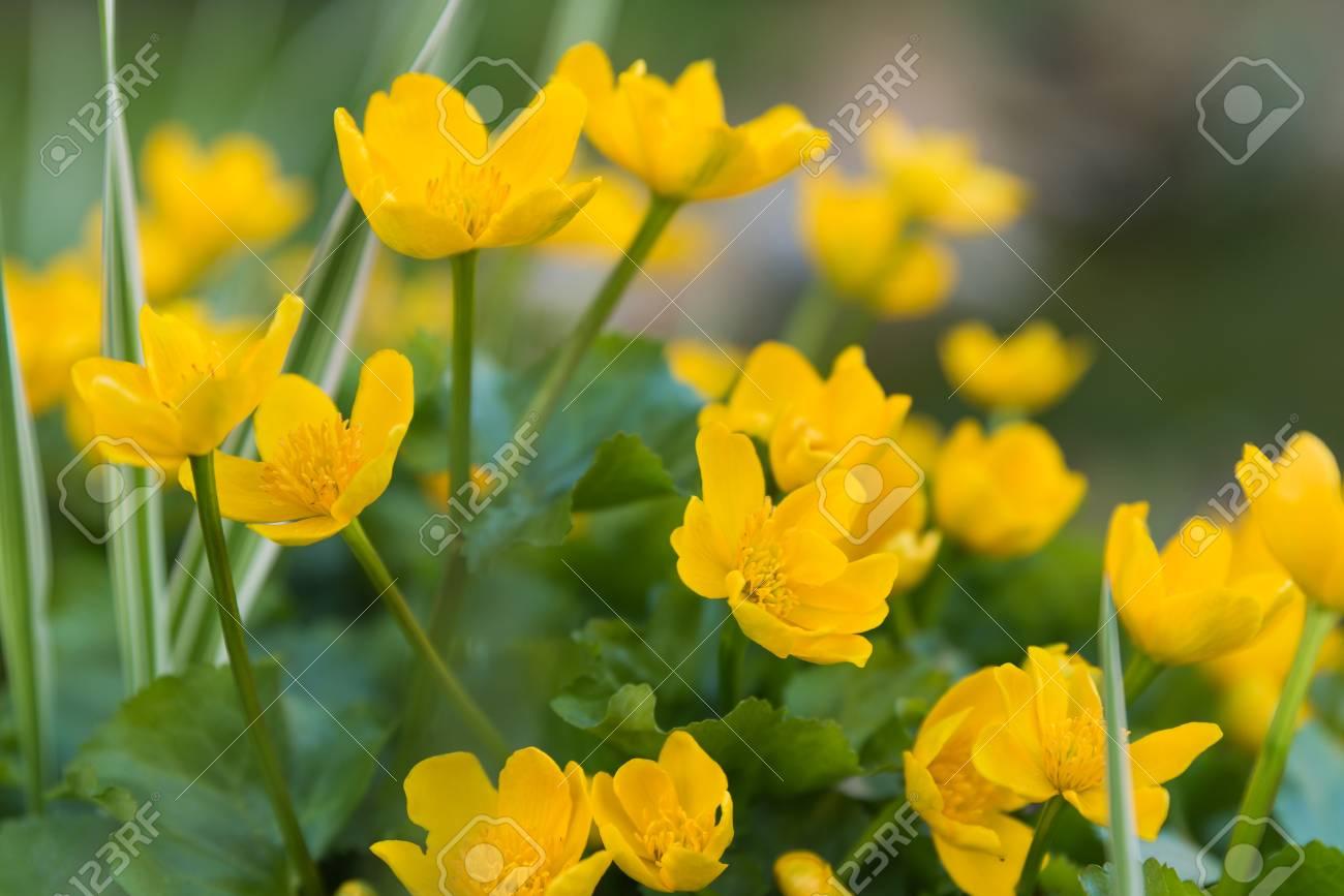 Caltha Palustris Yellow Flowers Growing By Water Spring Lake