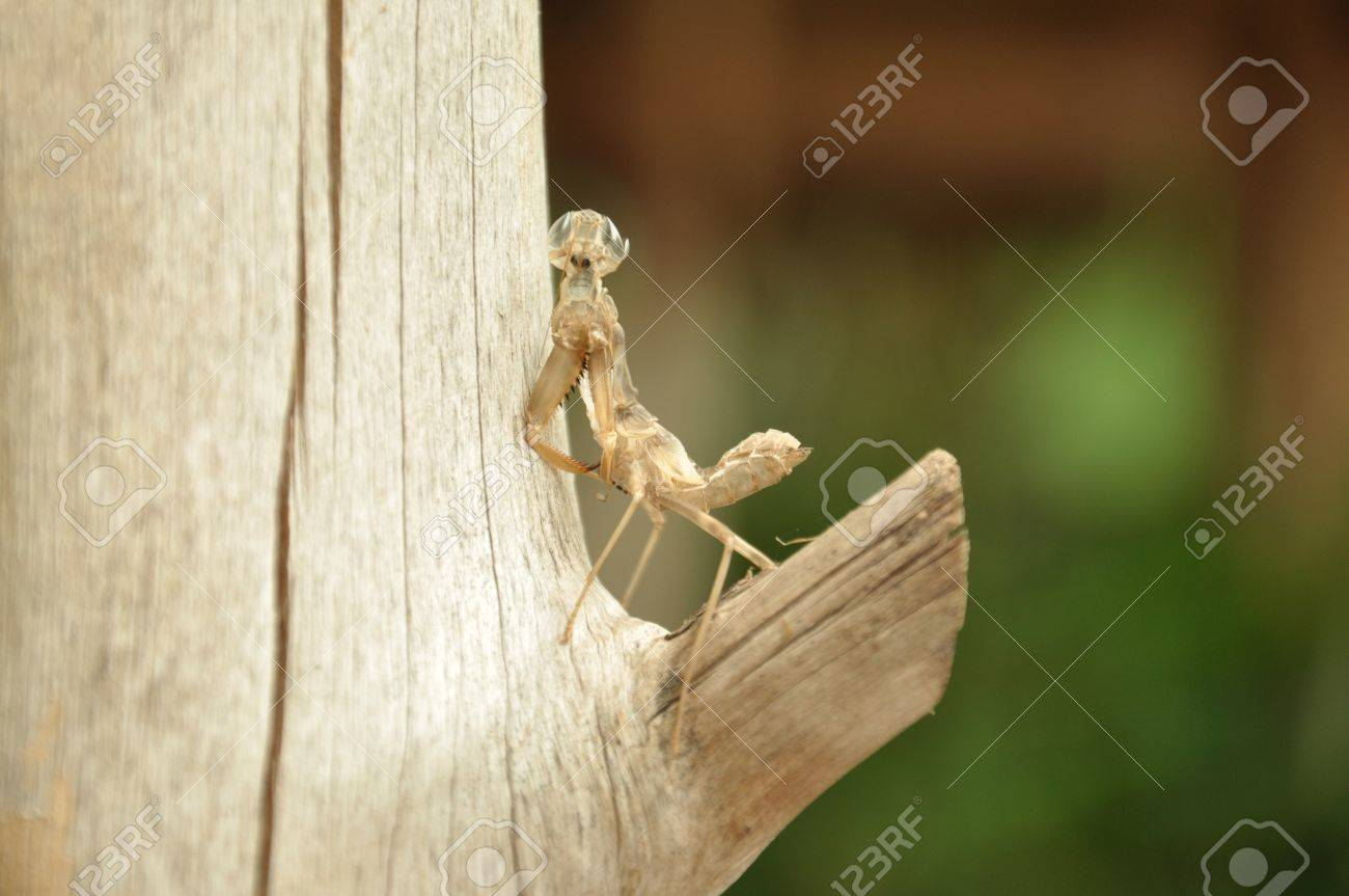Moult of Grasshopper in the garden Stock Photo - 16214060