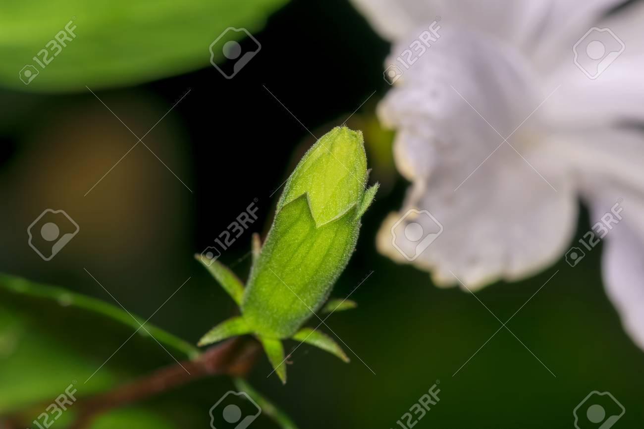 Closeup of an unbloomed hibiscus stigma or carpel flower bud stock closeup of an unbloomed hibiscus stigma or carpel flower bud hibiscus rosa sinensis izmirmasajfo