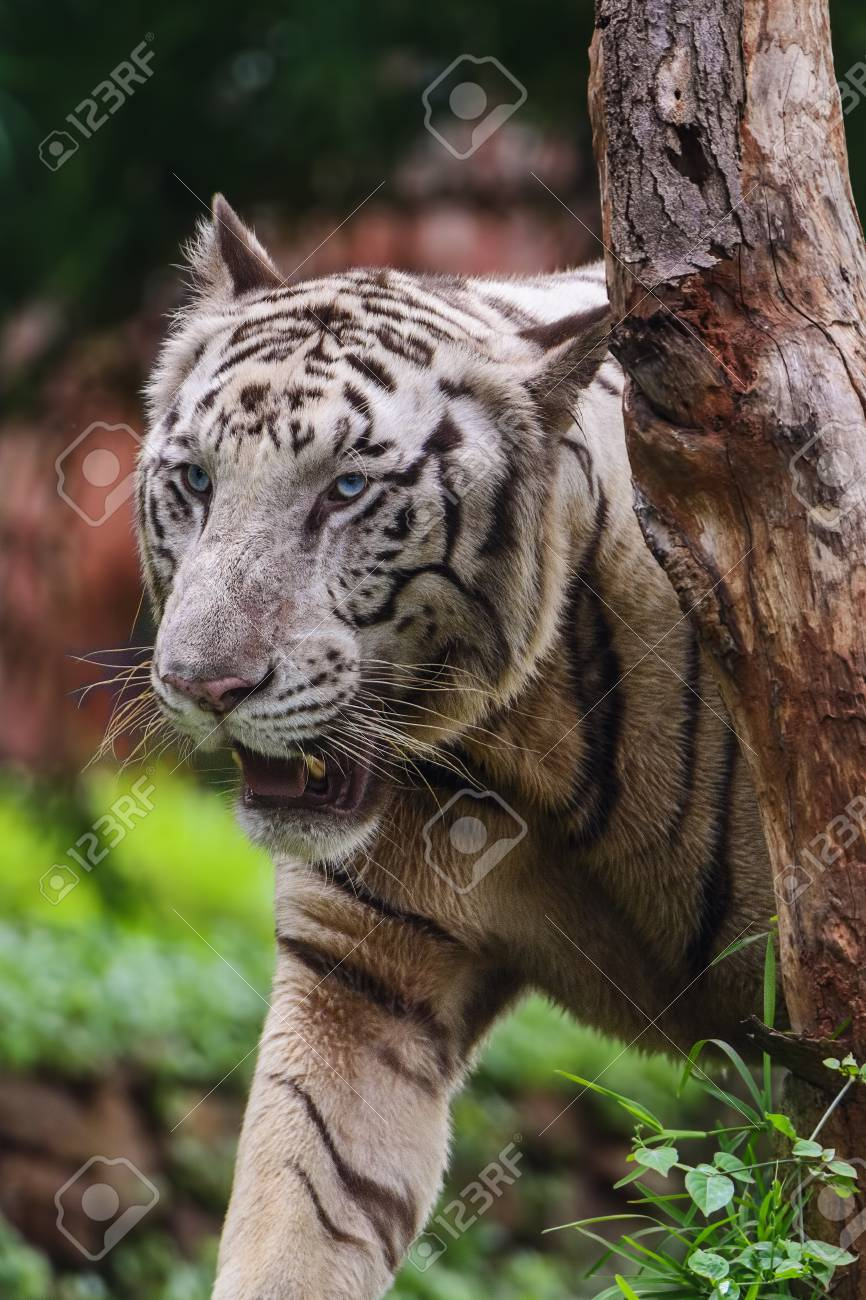 closeup of a roaring white tiger looking away with a green flora