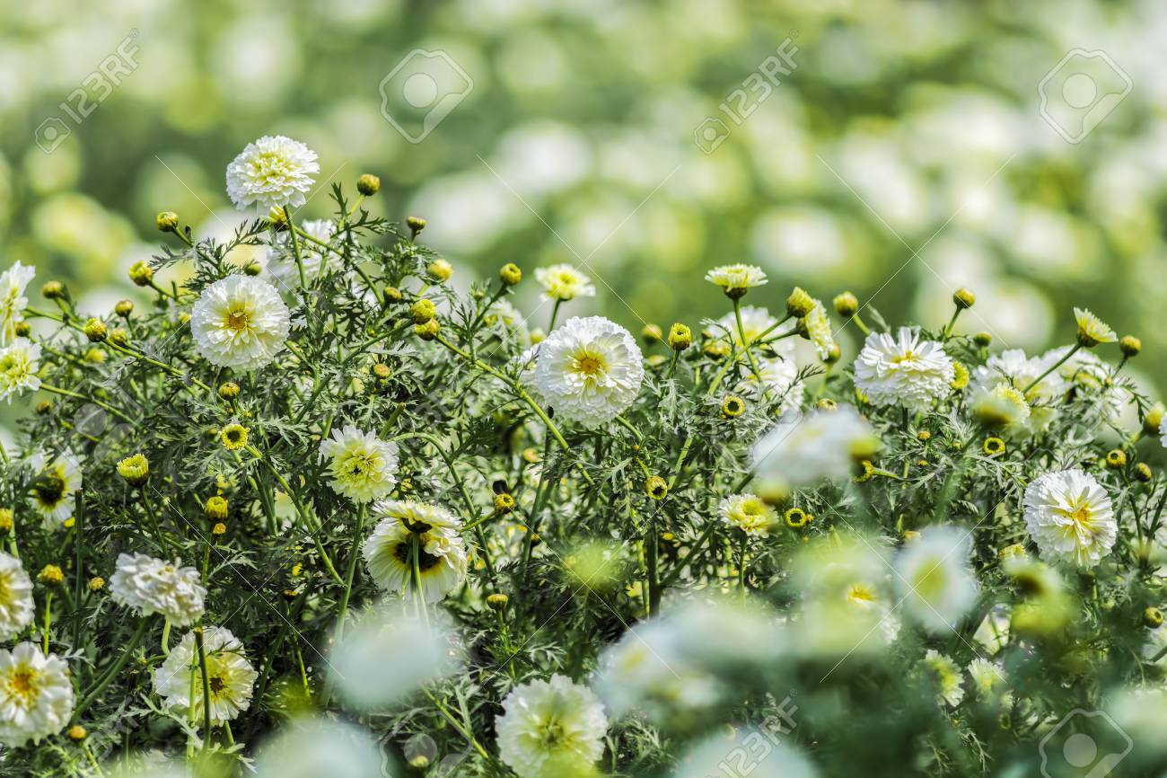 Beautiful White Marigold Flowers Sourrounded By Green And Yellow