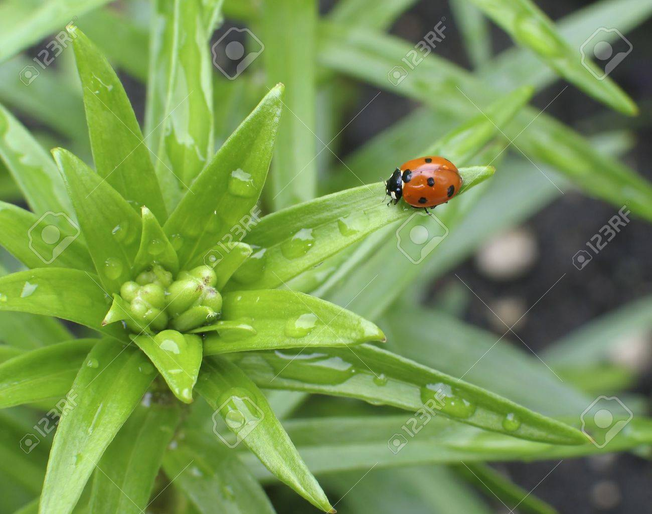 Ladybug on the leaf of a young lily plant in Spring. Stock Photo - 417637