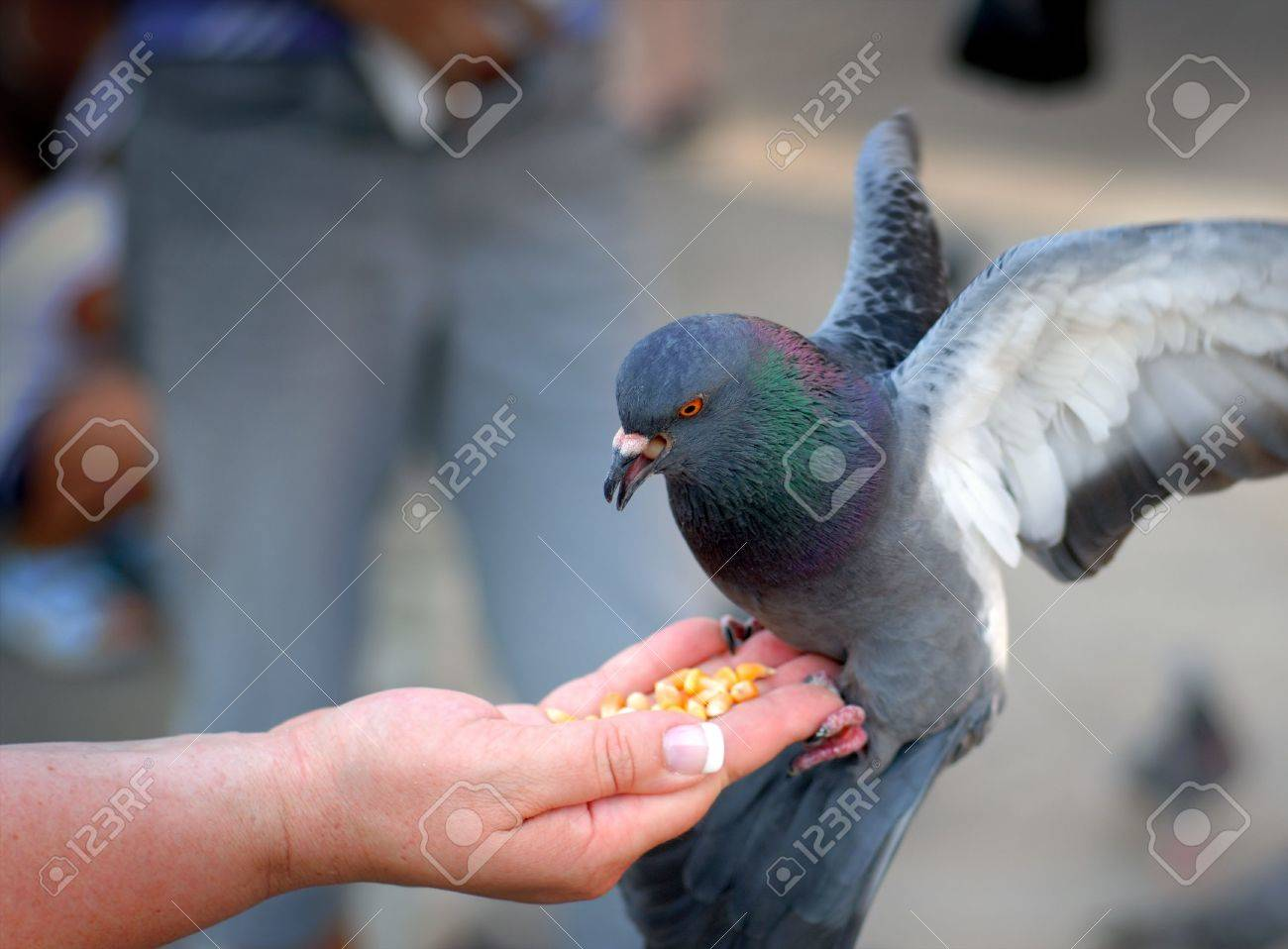 Pigeon feeding and balancing on woman's hand in St. Mark's Square in Venice, Italy. Stock Photo - 1780781