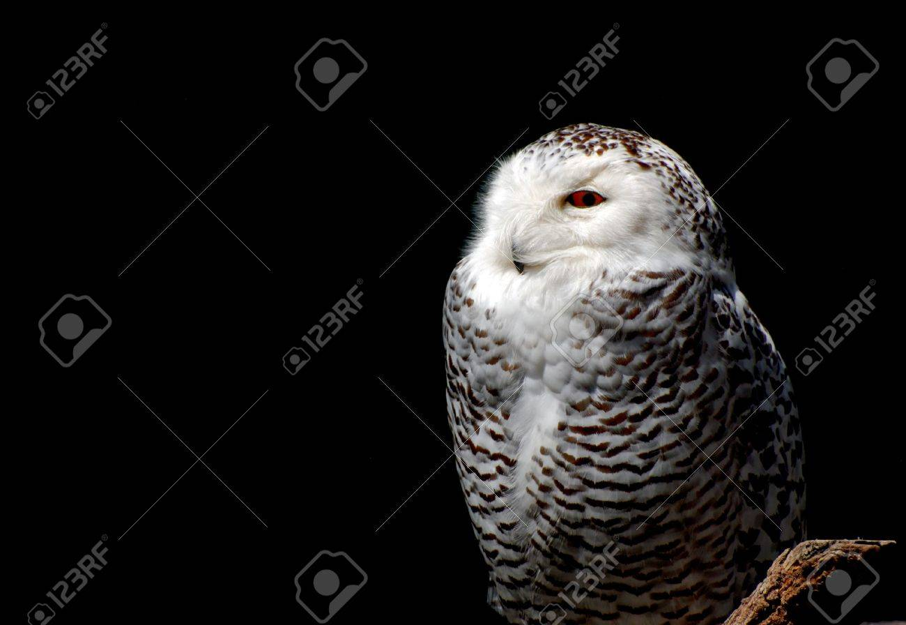 Adult snowy owl against a black background Stock Photo - 3094135