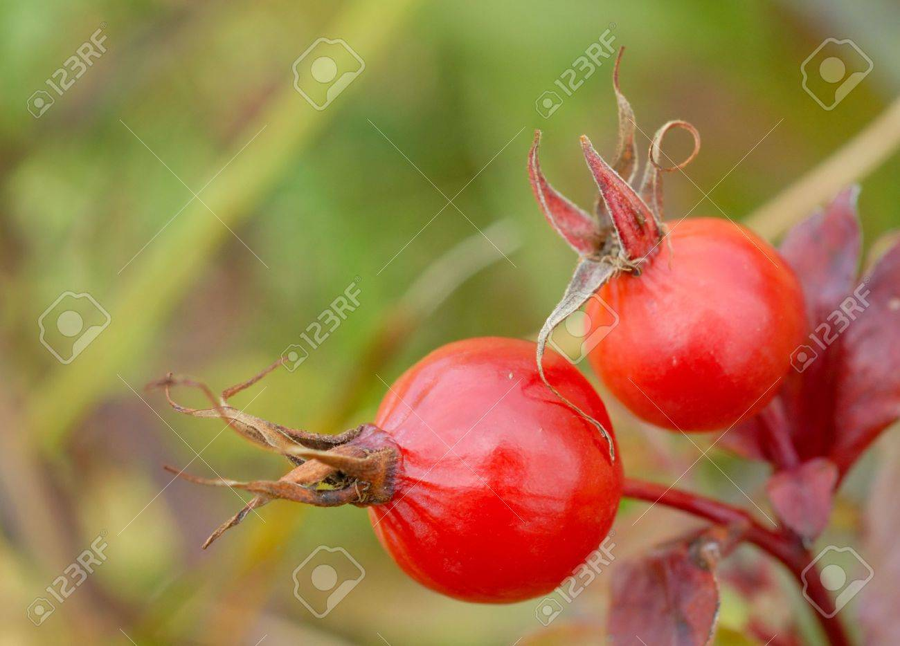 Macro of two red rosehips Stock Photo - 3609523
