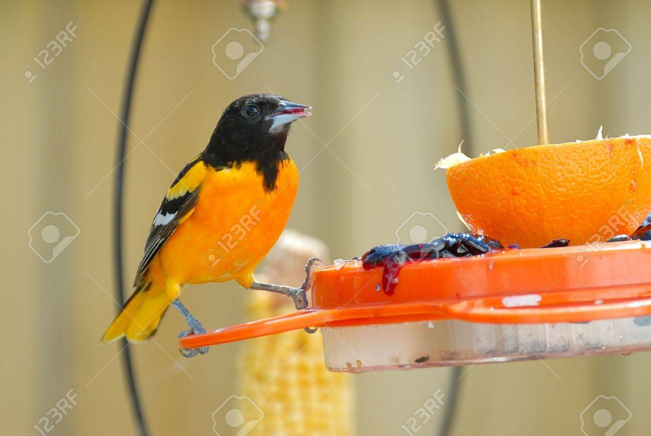 Adult Male Baltimore Oriole perched on a feeder. Stock Photo - 4922426