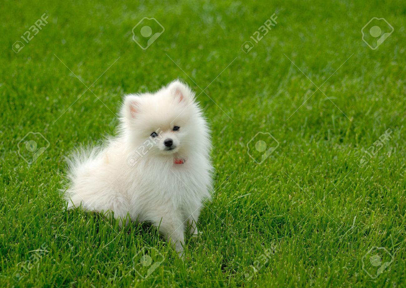 Adorable white Pomeranian puppy sitting in the grass. Stock Photo - 5007719
