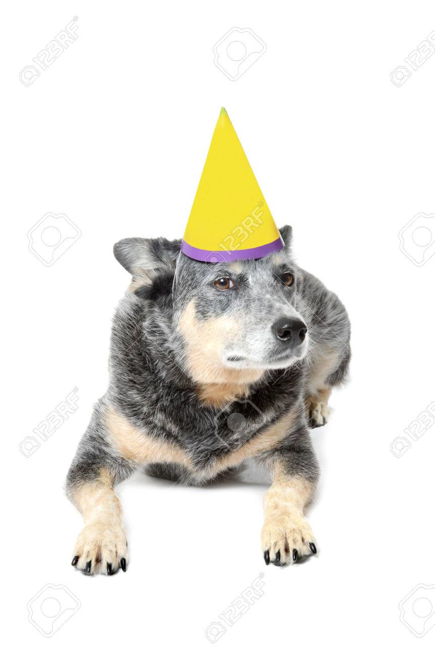 Blue Heeler Dog With Birthday Hat Isolated White Background Stock
