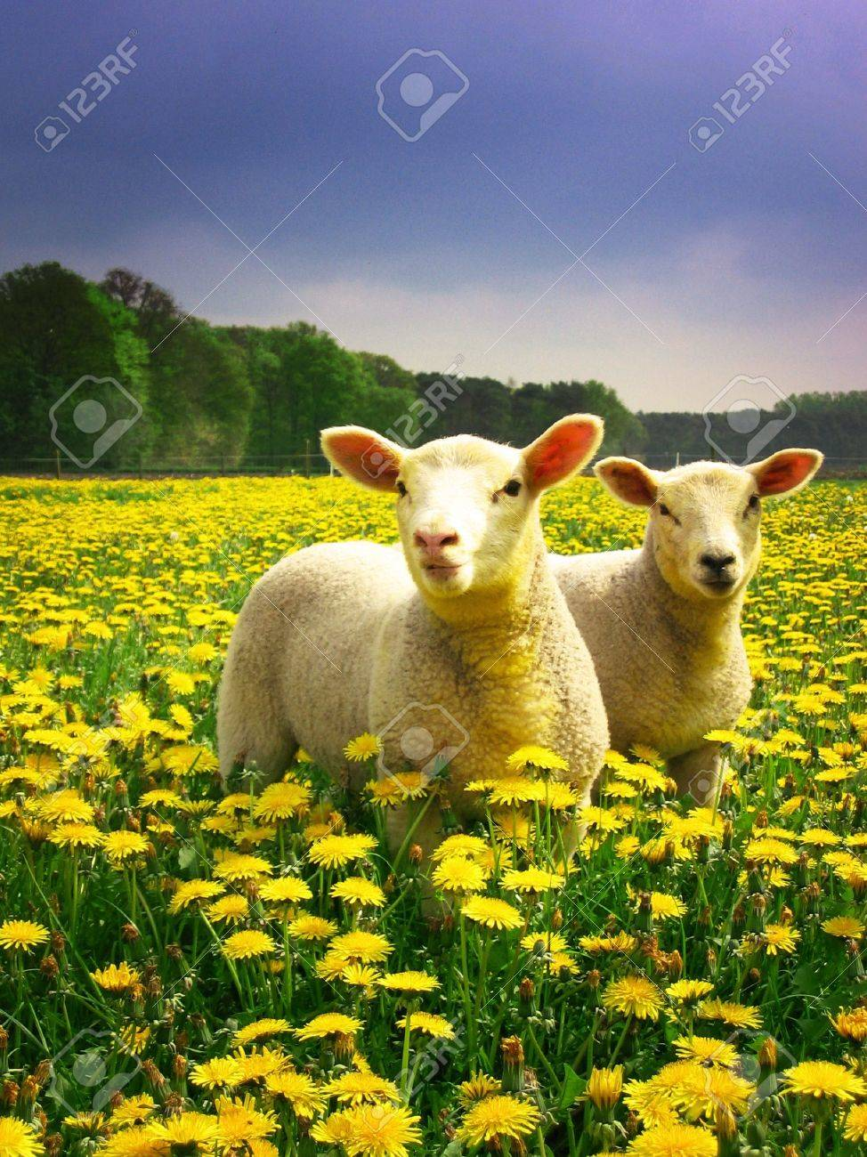 Lambs proudly posing Stock Photo - 2482040