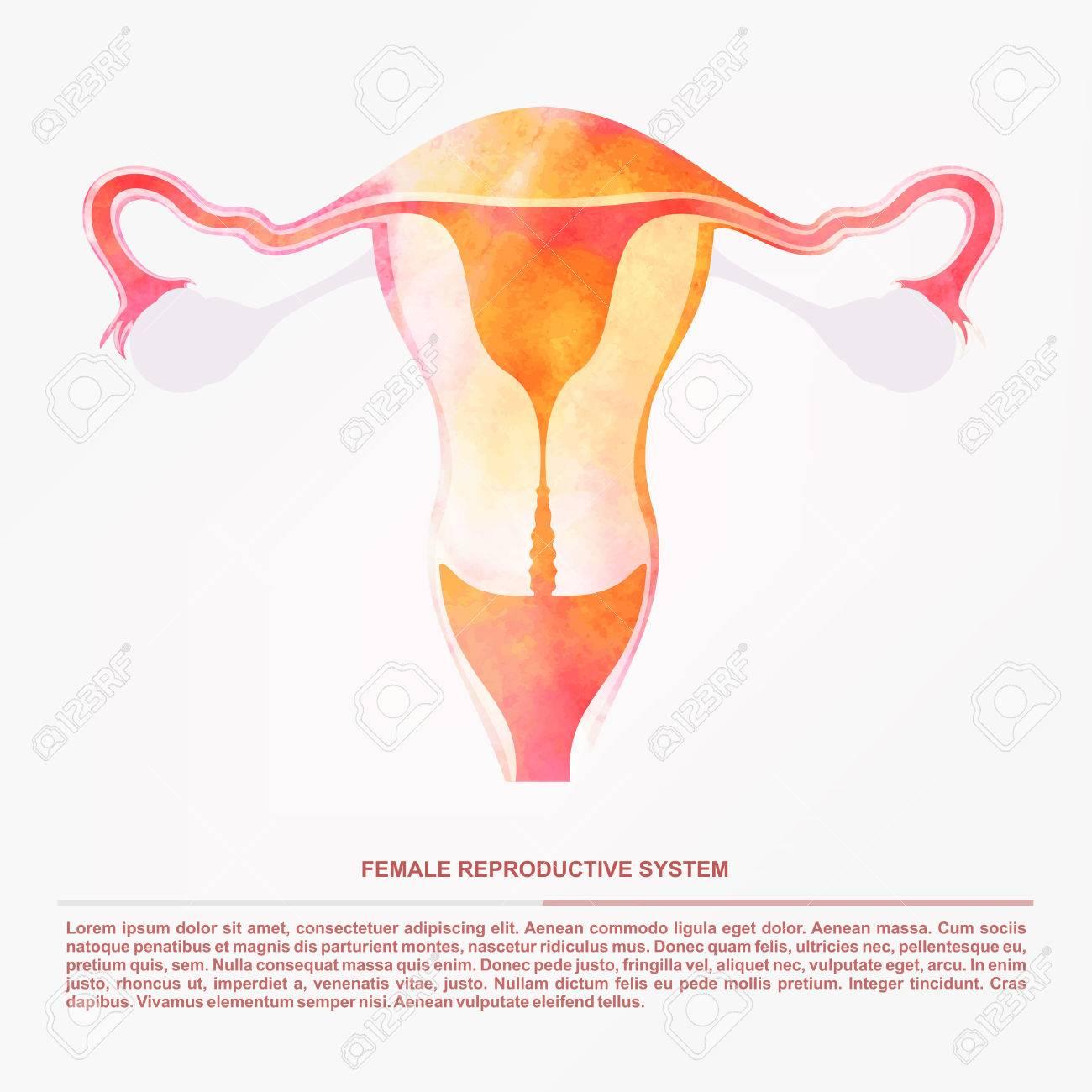 Illustration Von Frauen Sexuelle Fortpflanzungsorgane, Die ...
