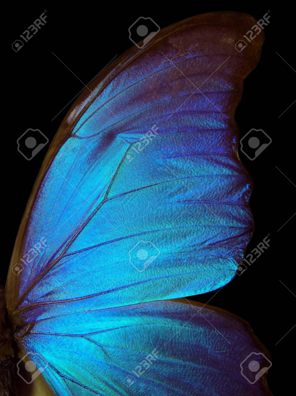 Wings of a butterfly Morpho texture background  Morpho butterfly