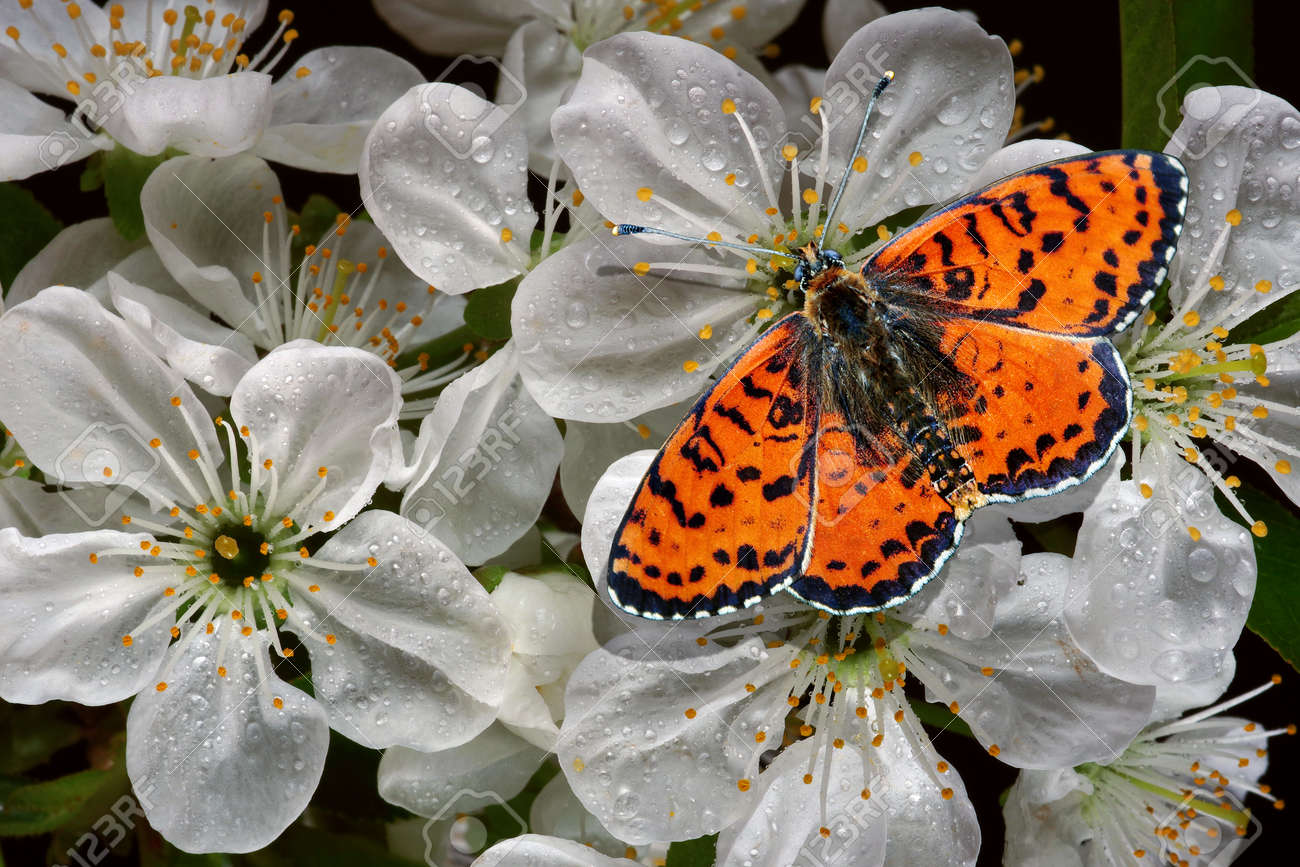 colorful red butterfly on cherry flowers in water drops close-up. bright butterfly and sakura blossoms - 169620126
