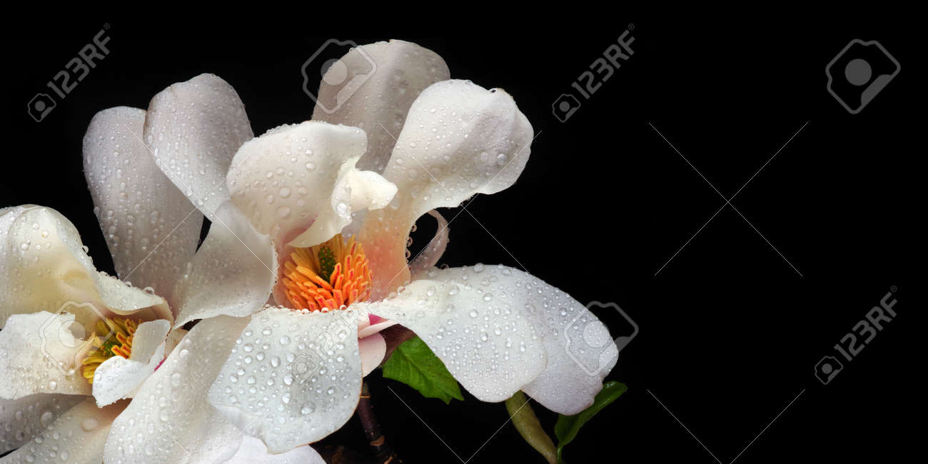 magnolia flowers in water drops isolated on black. copy space - 169620131
