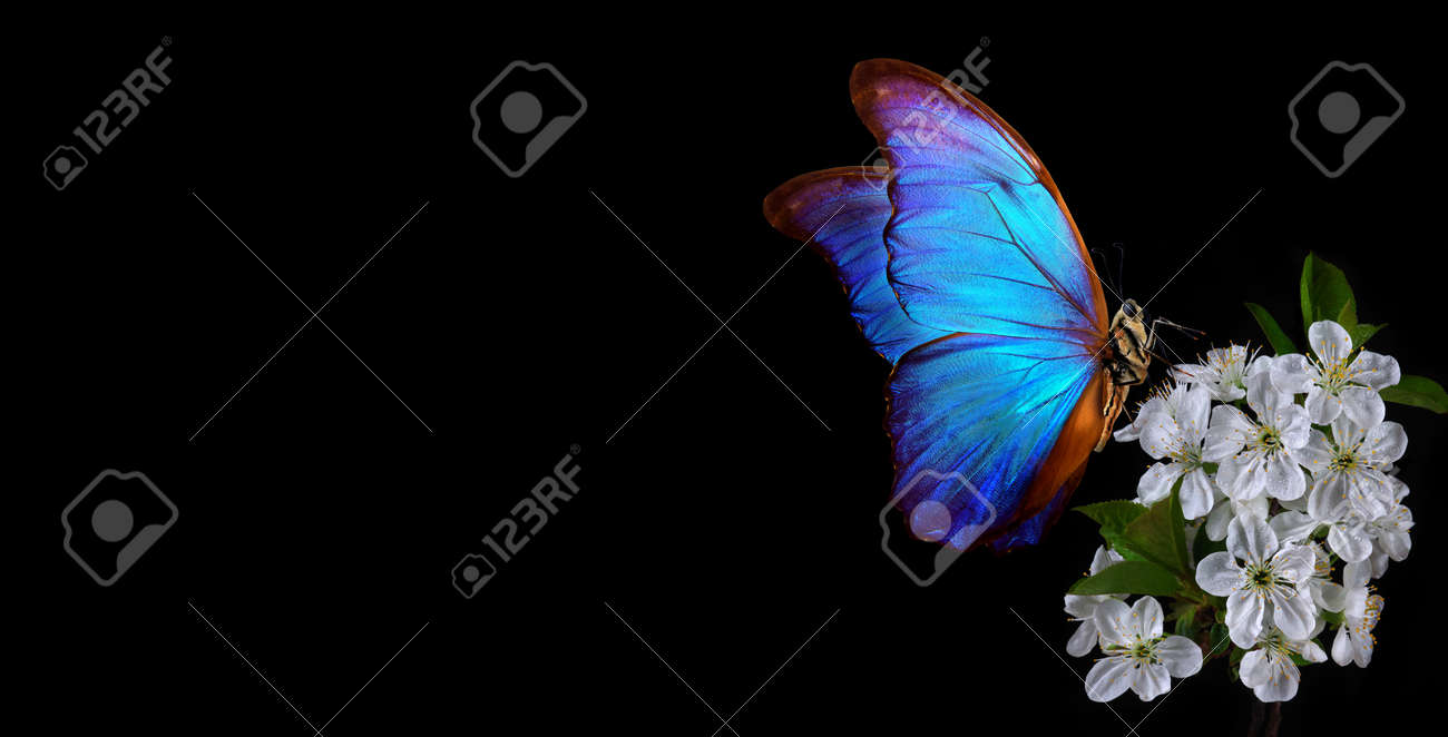 Bright blue morpho butterfly on a branch of blooming sakura. Blooming cherry and butterfly isolated on a black background. copy space - 169620140