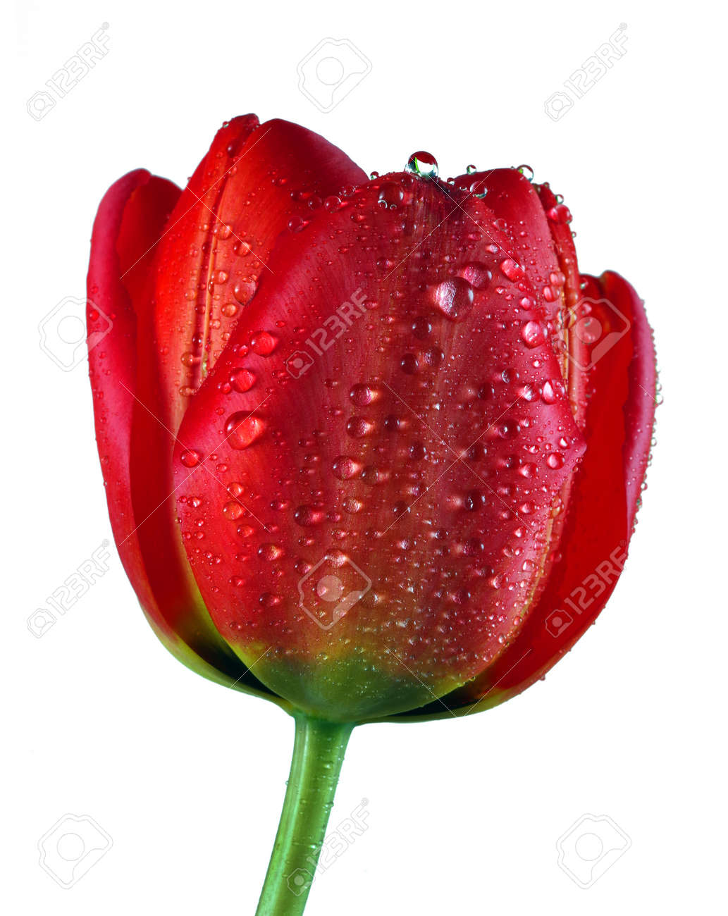 beautiful red tulip in water drops isolated on white - 169620149