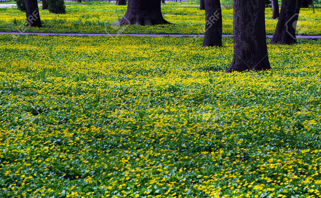 colorful yellow flowers in the park in spring - 169620150