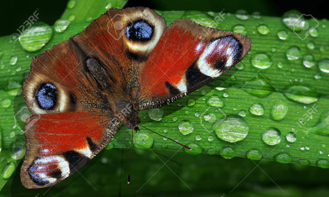 bright colorful peacock butterfly on green leaves of a lily in drops of water after rain - 169620162