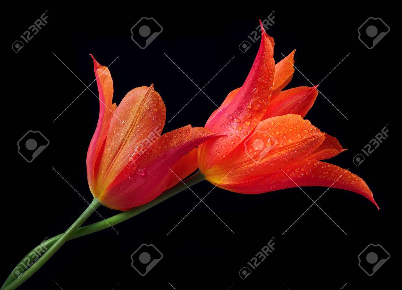 Two bright colorful tulips in water drops isolated on black. Love Concept Men and Women. Gentle hugging - 169620163