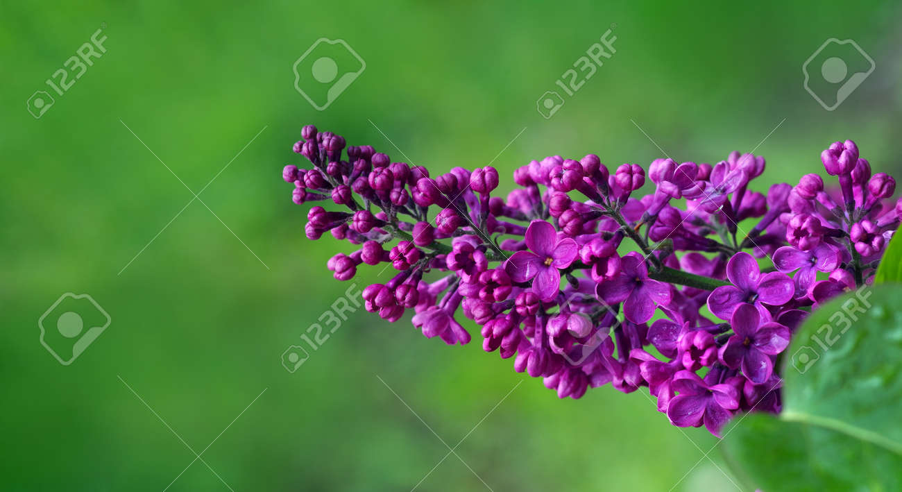 blooming lilac in the garden. copy space - 169620165