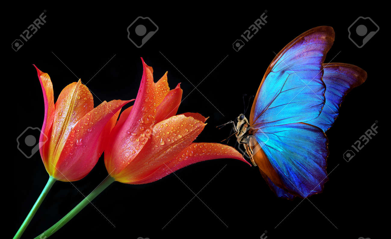 Beautiful colorful morpho butterfly on flowers on a black background. Tulip flowers in water drops isolated on black. Tulip buds and butterfly. - 169620166