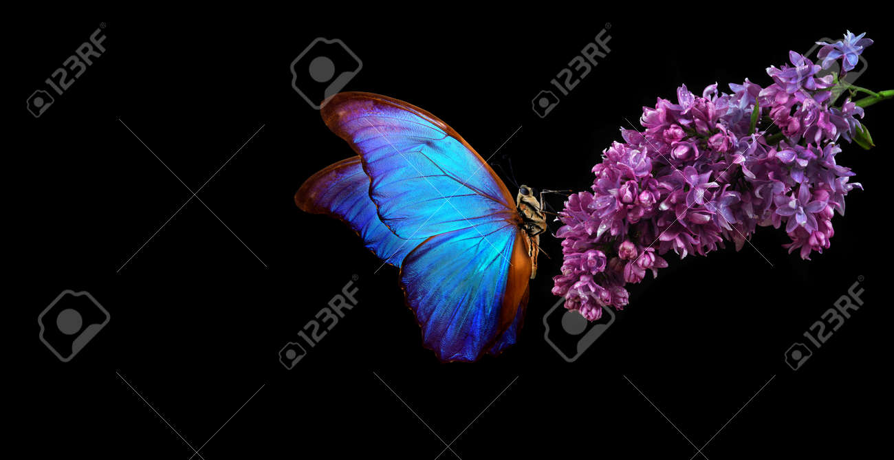 Beautiful blue morpho butterfly on a flower on a black background. lilac flower in dew drops isolated on black. lilac and butterfly. copy spaces. - 169620167