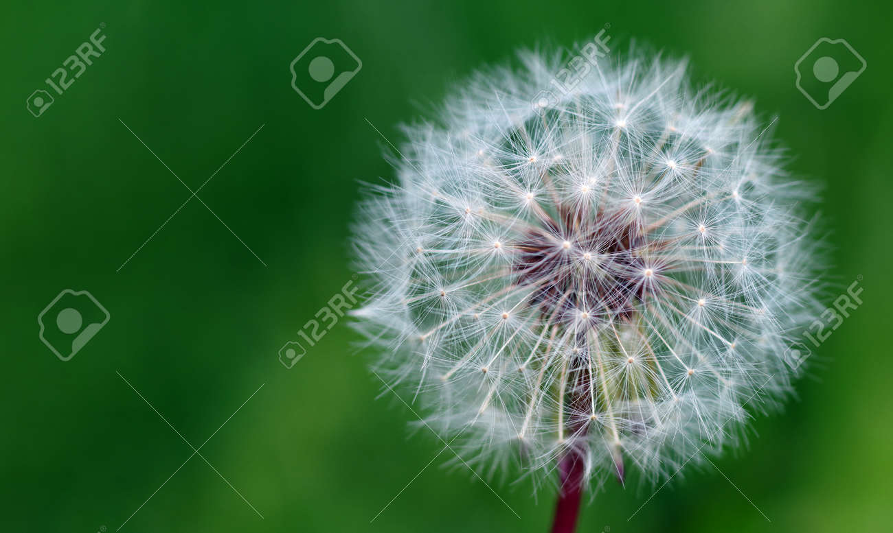 white fluffy dandelion in the meadow. copy space - 169620169