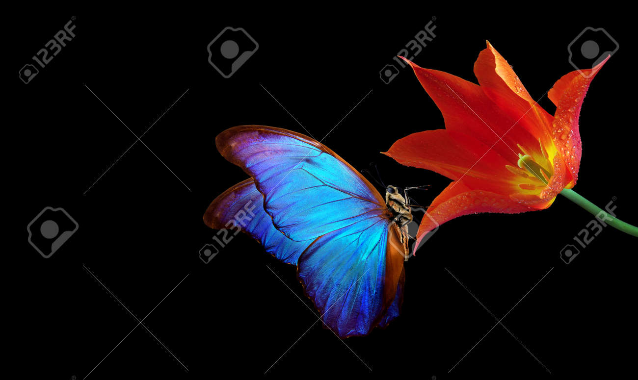 Beautiful colorful morpho butterfly on flowers on a black background. Tulip flowers in water drops isolated on black. Tulip buds and butterfly. - 169620171