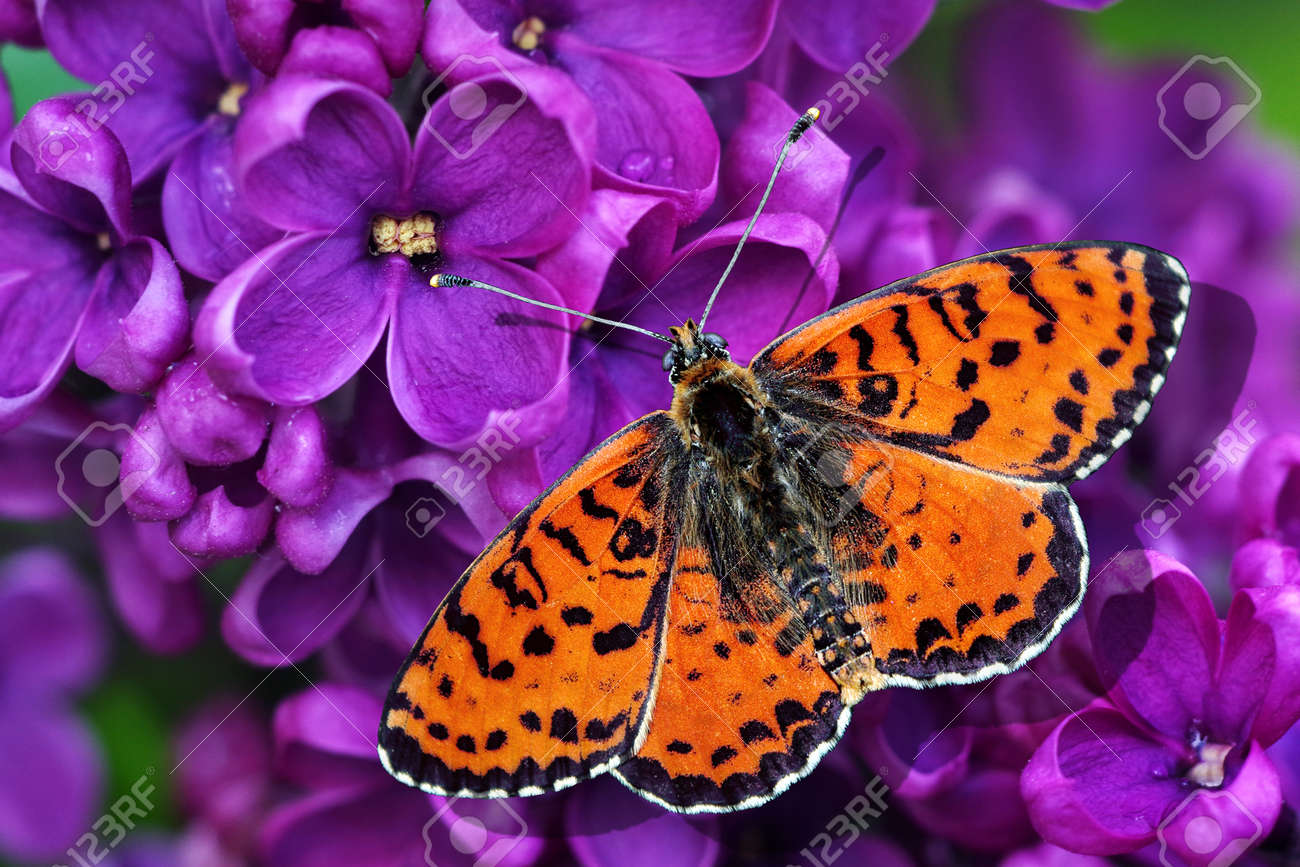 bright red butterfly on purple lilac close-up - 169620172