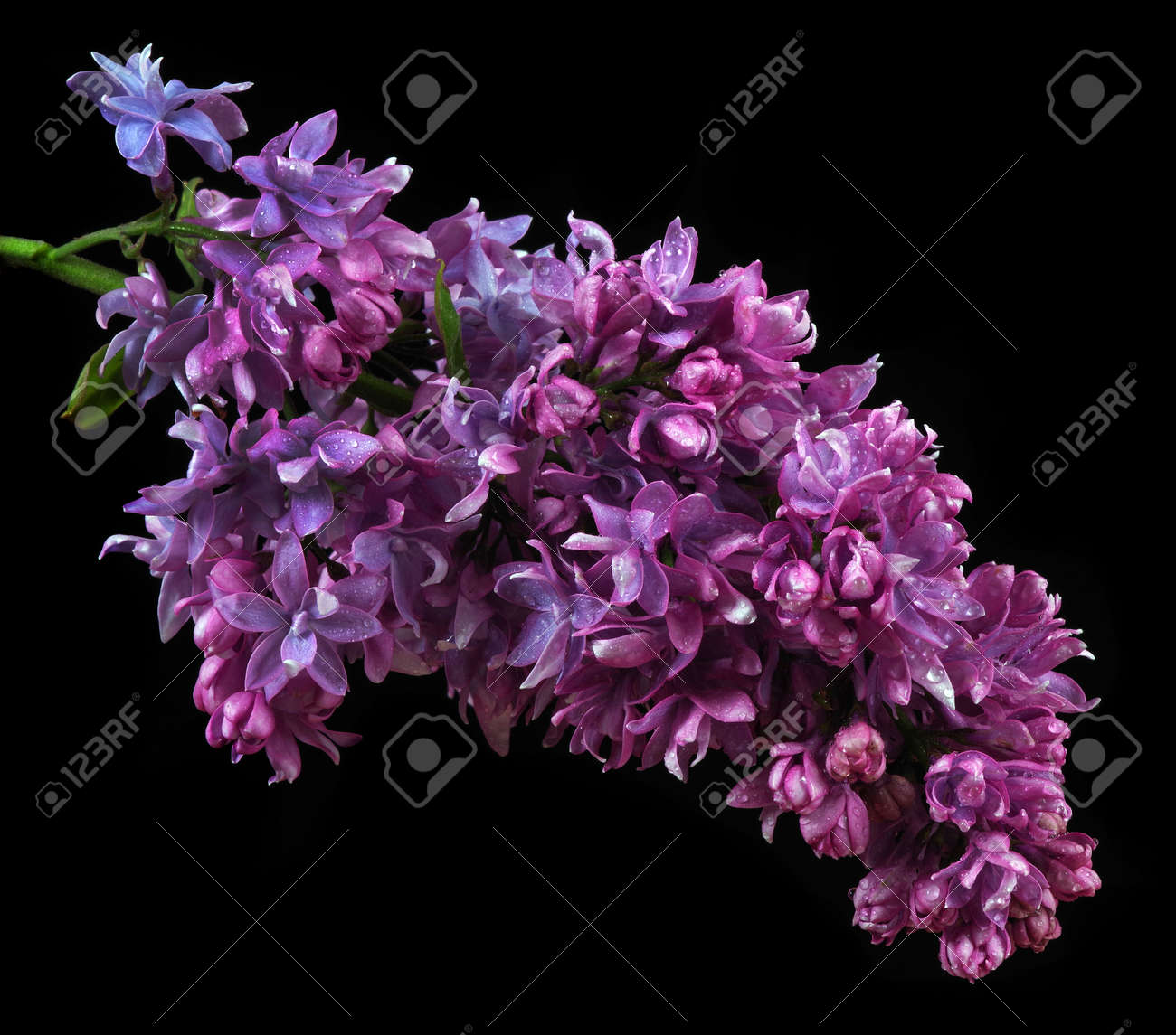 blooming lilac close-up isolated on black - 169620174