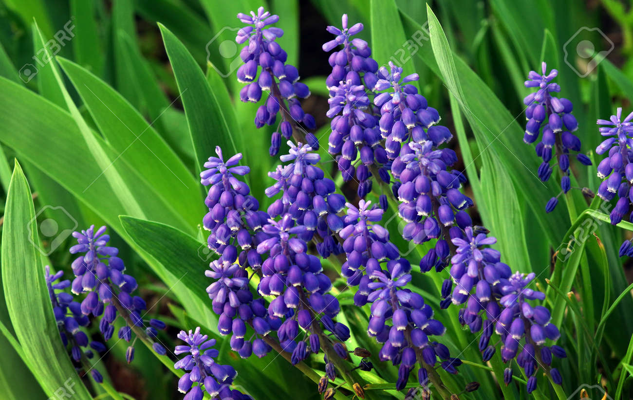 Blue Muscari flowers close up. blue spring flowers in the garden. - 169620175