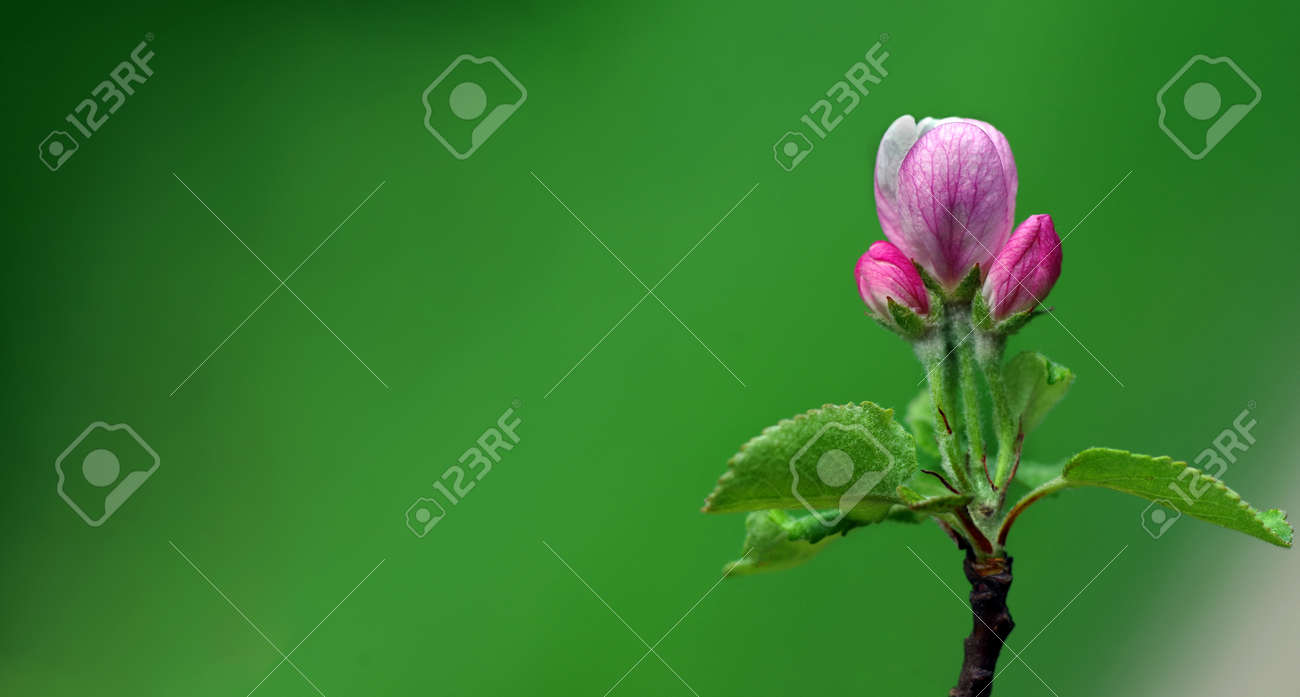 pink apple blossom in spring. apple flower close-up - 169620176