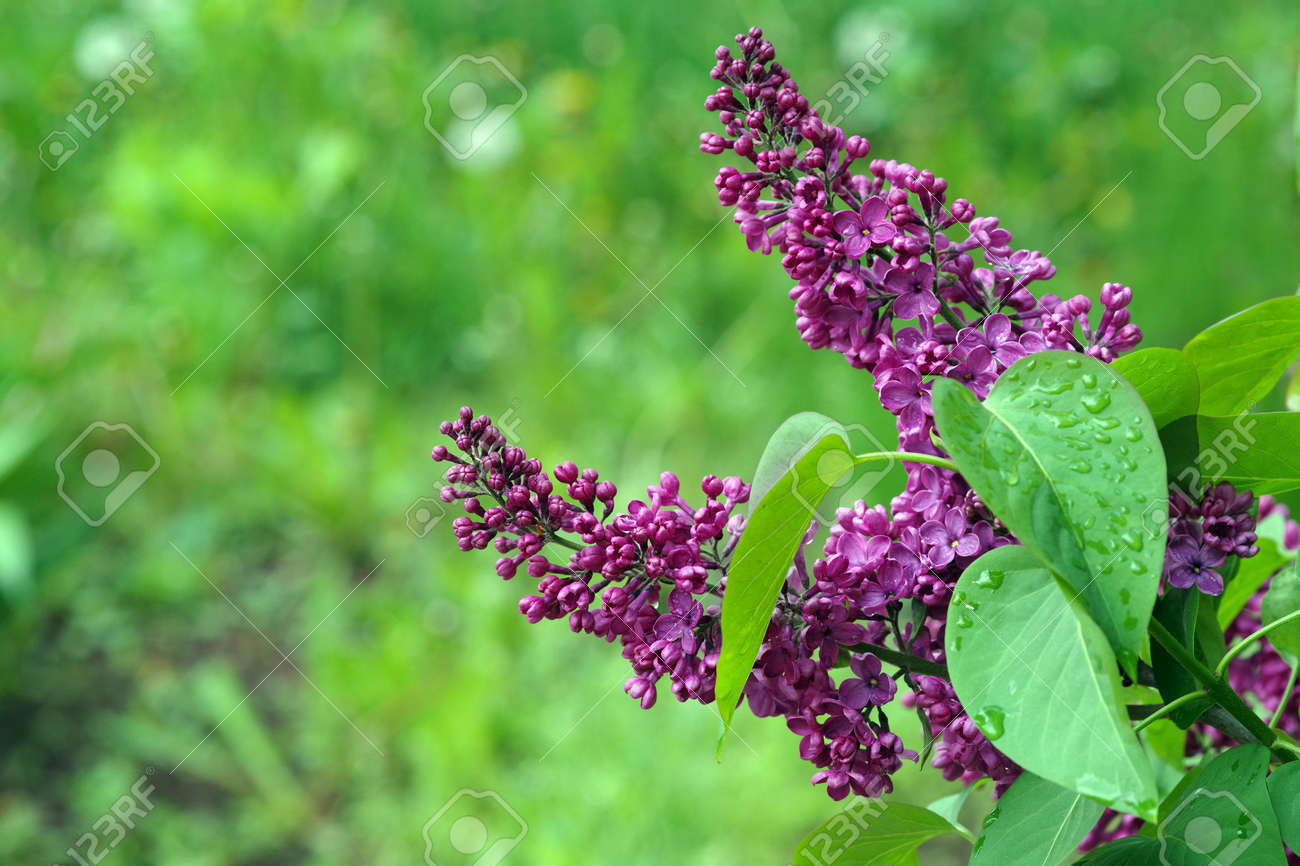 blooming lilac in the garden. copy space - 169620179