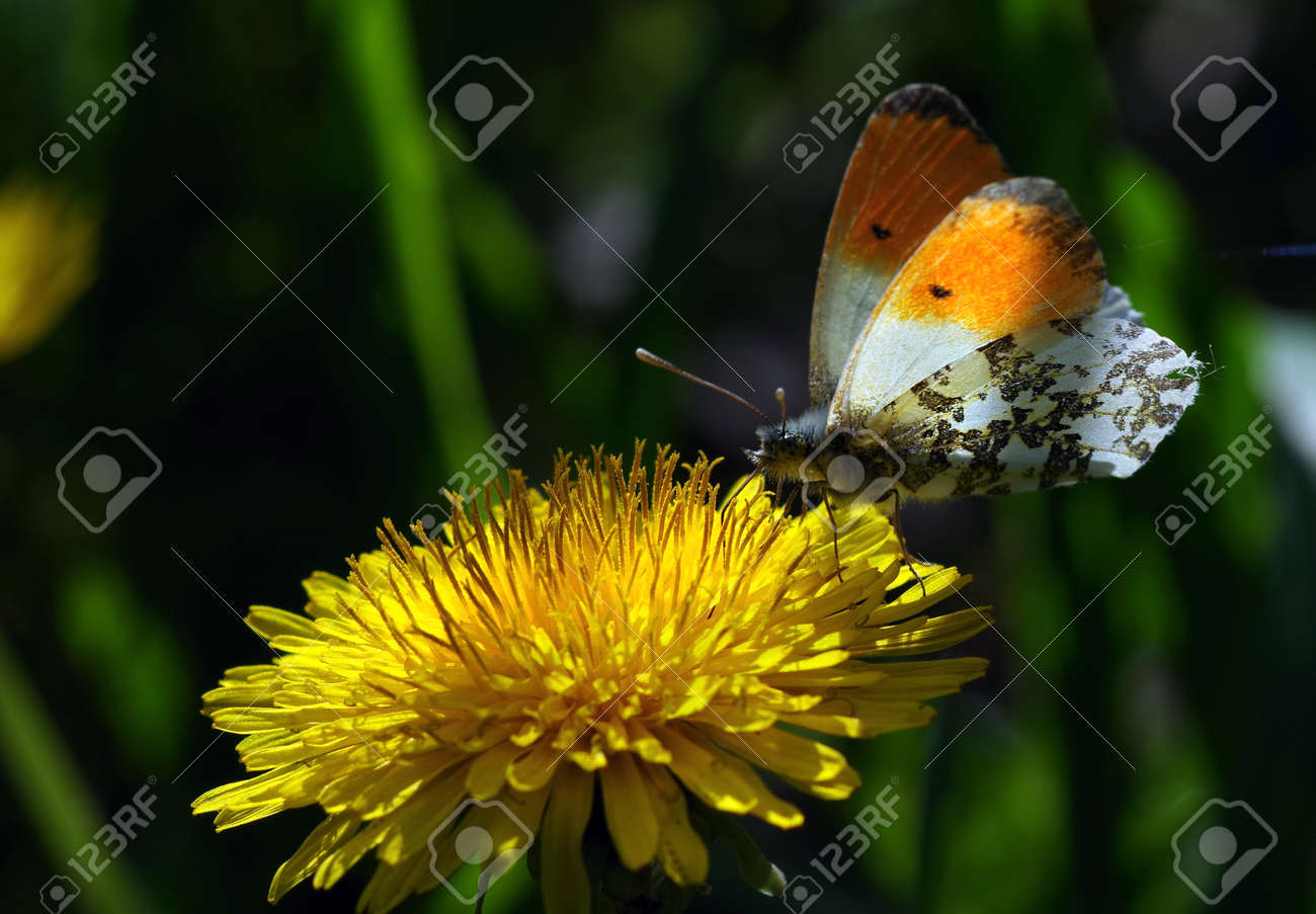 bright colorful butterfly on dandelion flower - 169620183