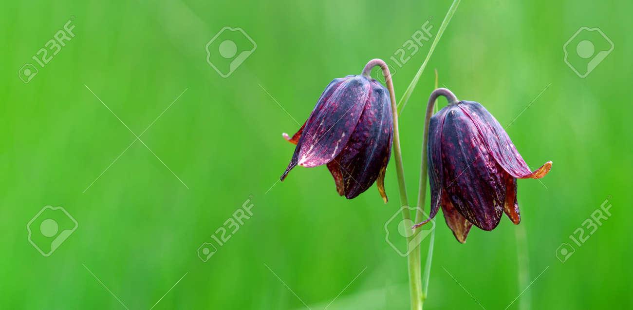 wild purple tulips on a green meadow. copy space - 169620189