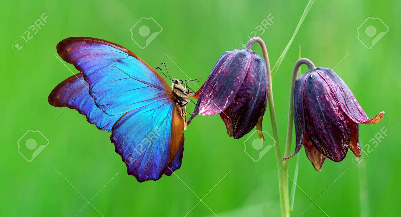 bright blue morpho butterfly on purple wild tulips - 169620190
