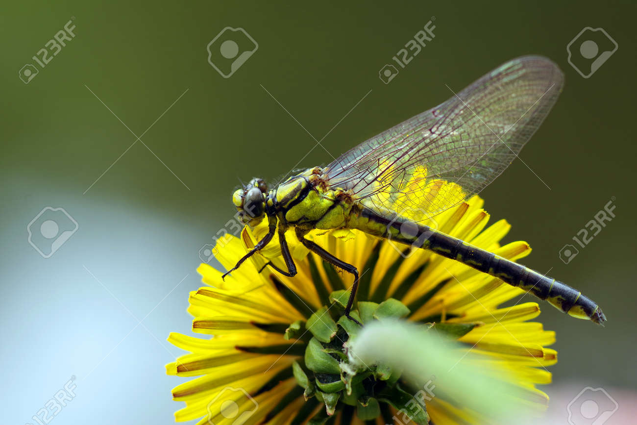 young dragonfly sitting on a dandelion flower. - 169620196