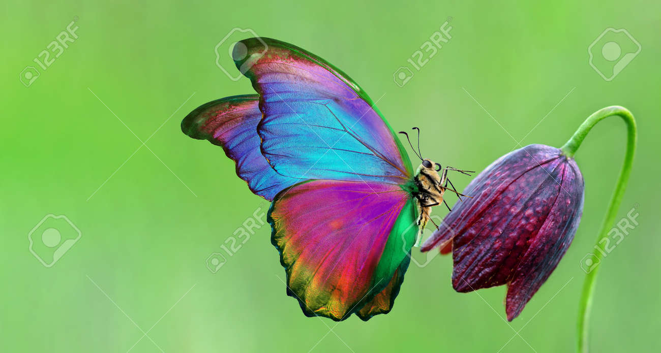 bright colorful morpho butterfly on purple wild tulip - 169620198