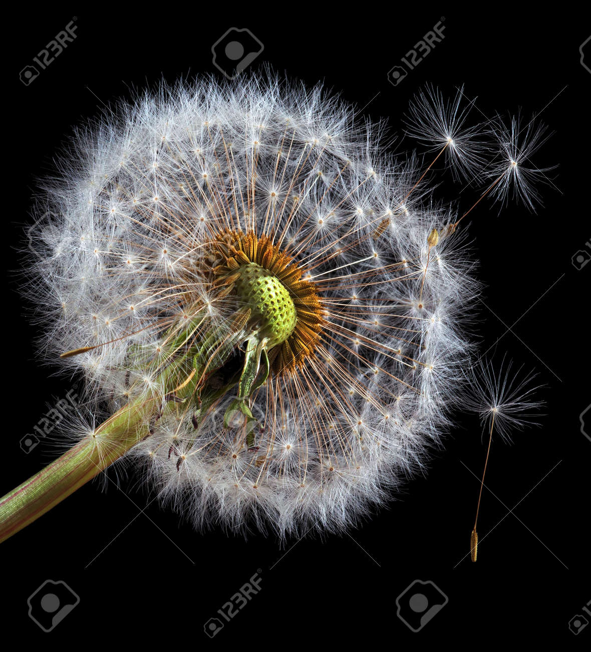 two white fluffy dandelions close up isolated on black - 169620208